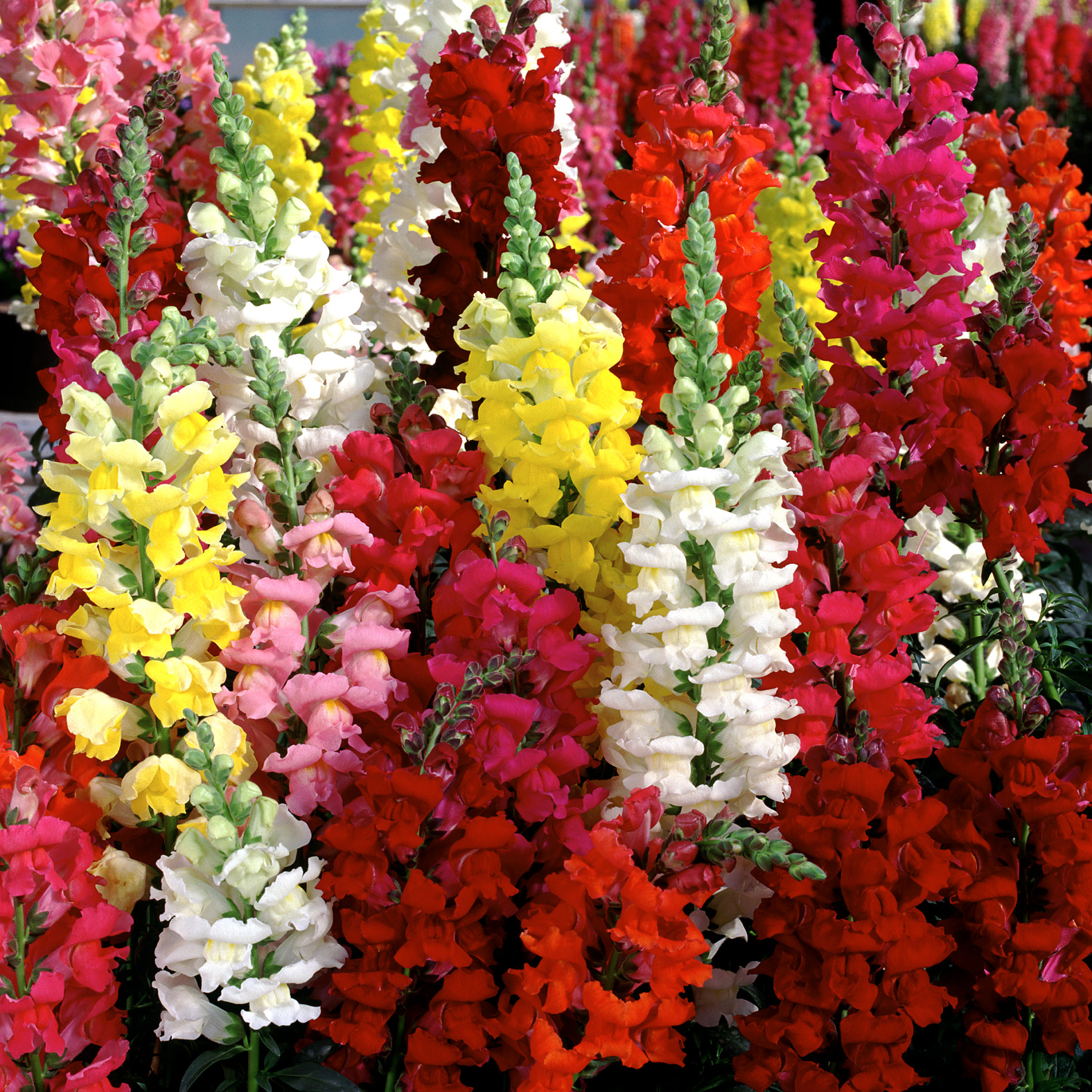 http://www.primrosecottagenursery.co.uk/wp-content/uploads/2010/04/Antirrhinum-Liberty-Classic-Mix.jpg